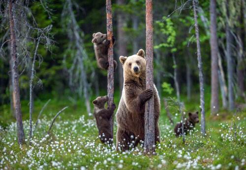 Čo robiť pri stretnutí s medveďom?
