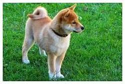 Pes čistotný ako mačka a mimoriadne inteligentný : Shiba-Inu