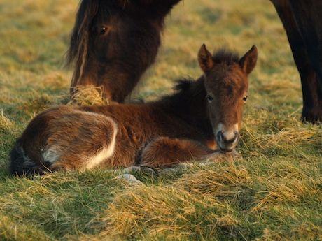 Ako sa rodí koník